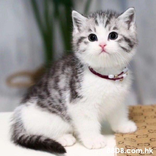 美國短毛貓美短貓