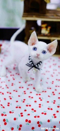 愛貓者看過來 德文捲毛貓捲毛貓BB高智商,易打理,活潑精靈