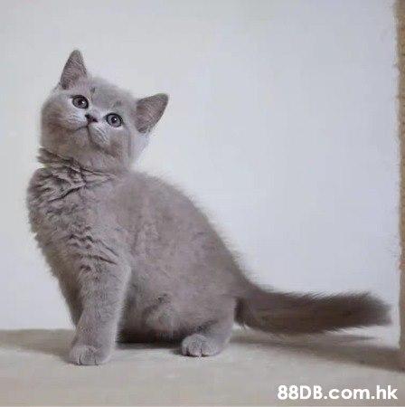 英國短毛貓 英短藍貓