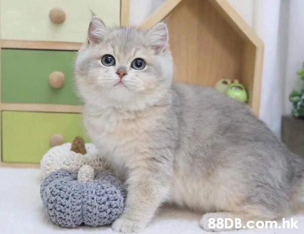 貓 金吉拉 金漸層 銀漸層 布偶貓 高地貓 藍眼 血統貓 CFA血統