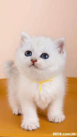 英國短毛貓 英短銀影貓
