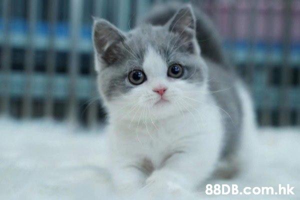 英國短毛貓 英短藍白貓