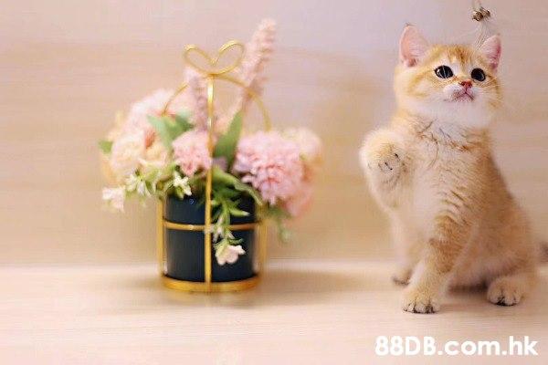 英國短毛貓 英短金影貓