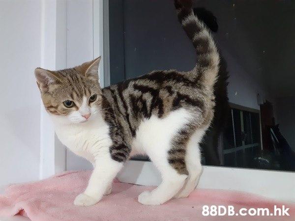 英國短毛貓BB