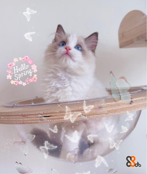 自家繁殖貓舍💜 保証健康以優質貓糧、鮮食、生肉喂養🤤🤤 貓咪性格溫和、活潑可愛而且備受一眾新家長的喜愛