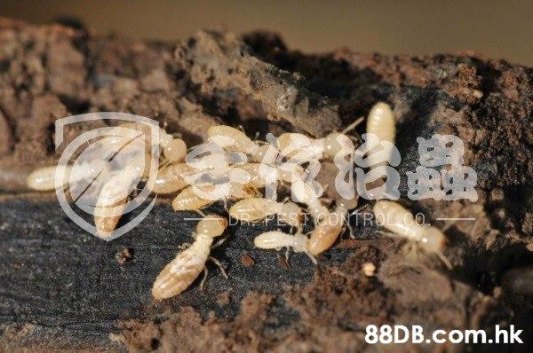 「手作治蟲 」白蟻防治公司